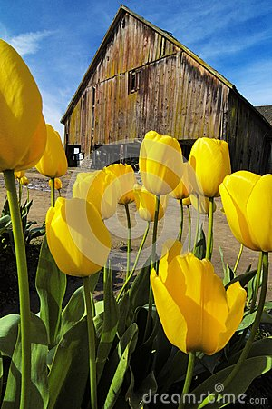 Free Skagit Tulips, Washington State Royalty Free Stock Photography - 66410387