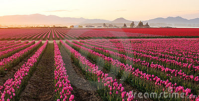 Skagit valley Tulip field at foggy sunrise