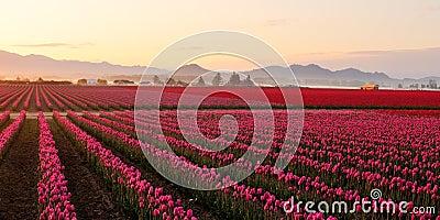 Skagit valley Tulip field at foggy sunrise