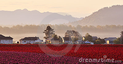 Skagit valley Tulip field at sunrise