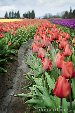 Free Skagit Valley Tulips Royalty Free Stock Image - 30279816