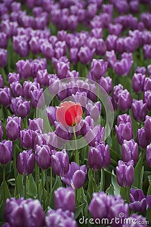 Free Skagit Valley Tulips Stock Image - 70047351