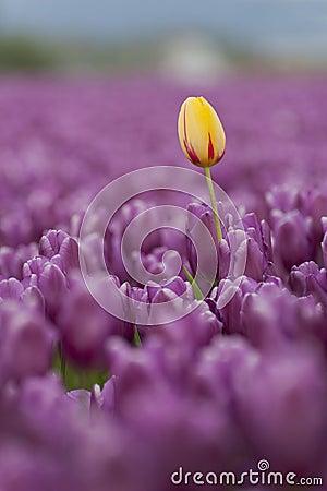 Free Skagit Valley Tulips Royalty Free Stock Photos - 70047798