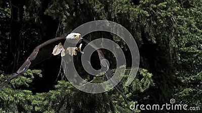 Skalliga Eagle, haliaeetusleucocephalus, vuxen människa i flykten som tar av från filial,