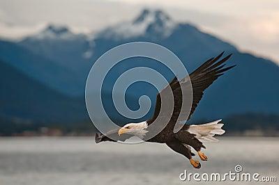 Skalliga Eagle på inställning