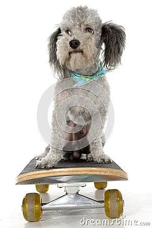 Free Skater Poodle Royalty Free Stock Photo - 832935