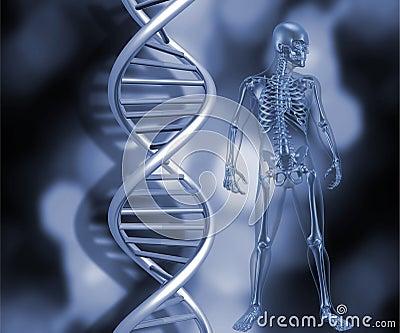 Skelet met de bundels van DNA