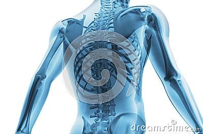 Skelet van de man