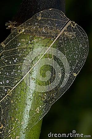 Skelet van een doorstaan blad