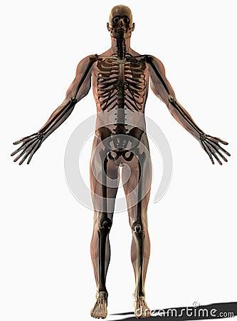 Skeletal anatomical human