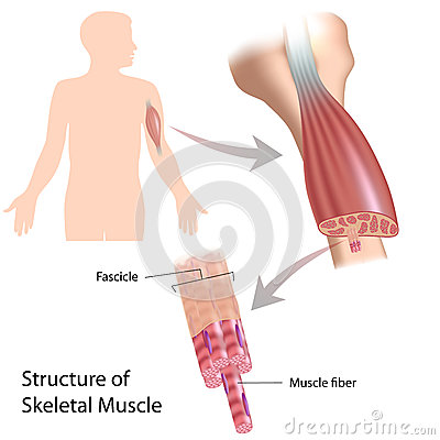 Free Skeletal Muscle Structure Royalty Free Stock Photo - 27192415