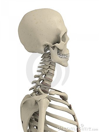 Free Skeletal Neck And Scull Stock Photography - 5499032