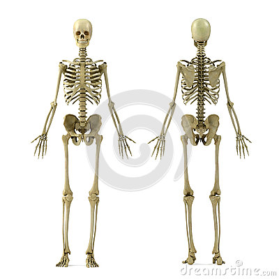 Free Skeleton Royalty Free Stock Image - 25415356
