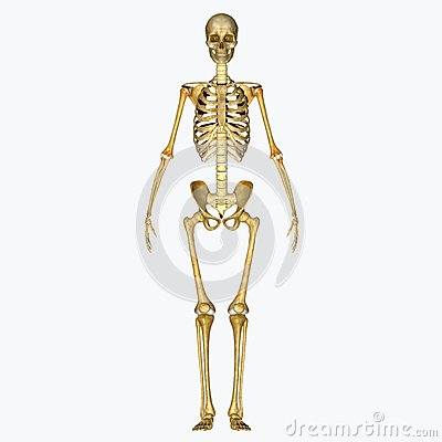 Free Skeleton Stock Image - 43014241