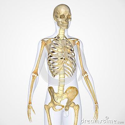 Free Skeleton Stock Photos - 43014273