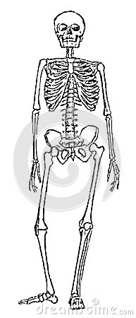 Skeleton anatomy