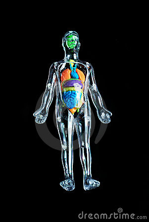 Skeleton with colorful organs