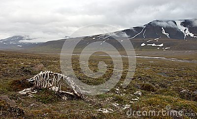 Skeleton of dead reindeer in arctic tundra