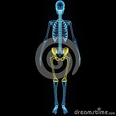 Skeleton: Hip And Femur Bones Stock Illustration - Image ...