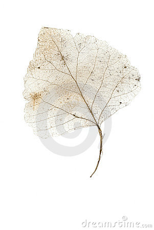 Skeleton Leaf On White 2