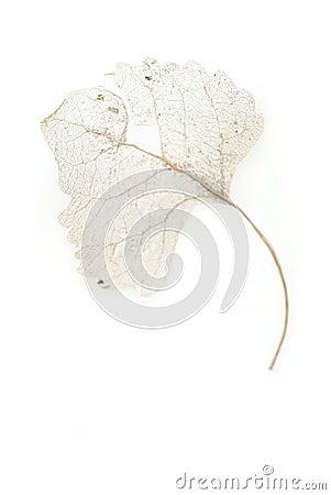 Skeleton Leaf On White