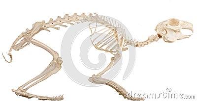 Skeleton of the quadruped