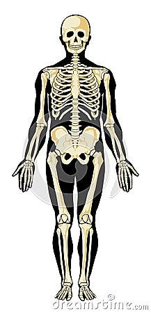 Skeleton .Separate layers