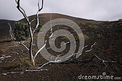 Skeleton Trees, Lava Field, Hawaii