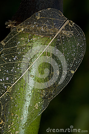 Skeleton of a weathered leaf