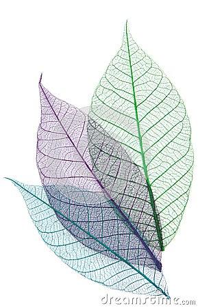 Skeletons of leaves