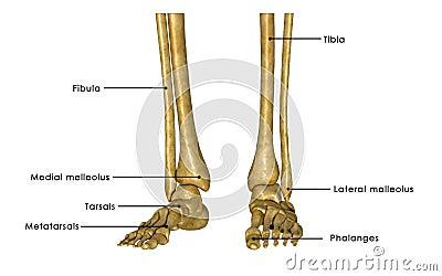 skelett fot