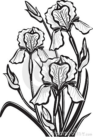 Sketch of iris flowers