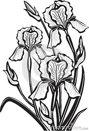 sketch of iris flowers royalty free stock image image