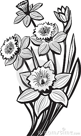 Sketch of narcissus flowers