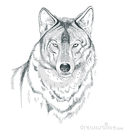 A sketch of a wolf stock vector image 56882769 for Lupo disegno a matita