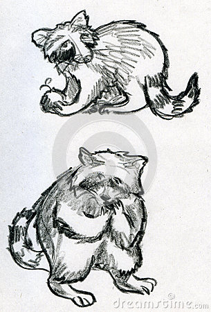 Sketches of raccoons