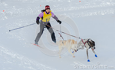 Skijoring competitor pulled by two dogs Editorial Photo