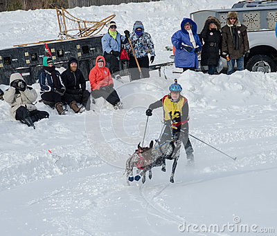 Skijoring competitor pulled by two dogs Editorial Photography
