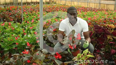 Young African man farmer working in garden center, examining seedlings of Begonia semperflorens. Skilled afro man florist engaged in cultivation of plants of stock video footage