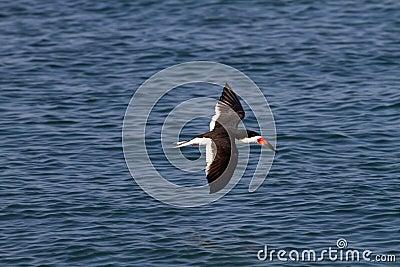 Skimmer In Flight