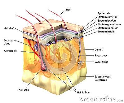 Skin 3D cut away