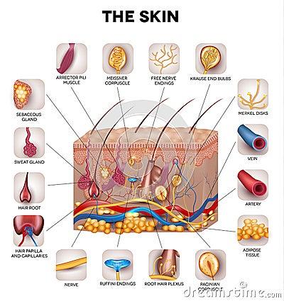 Free Skin Anatomy Royalty Free Stock Photo - 52180385