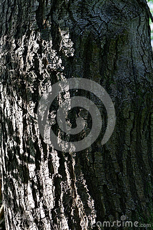 Free Skin Bark Tree Royalty Free Stock Photos - 92494608