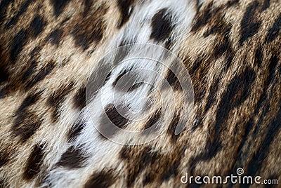 Skin of a lynx