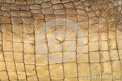 Skin s texture of crocodile
