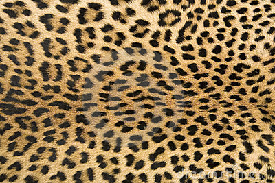 Skin s texture of leopard