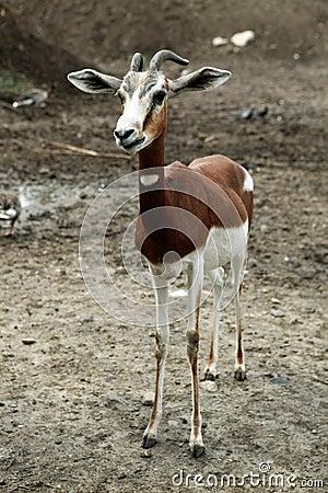 Skinny goat