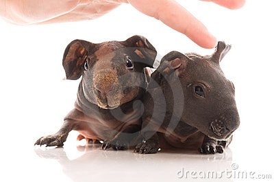 Skinny guinea pigs on white background