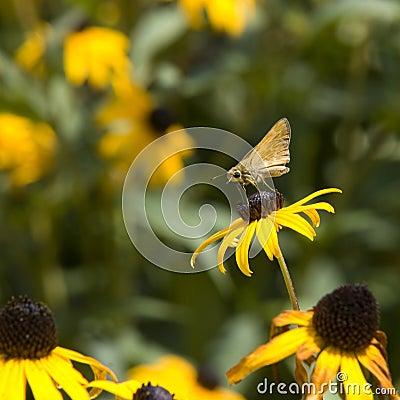 Skipper Butterfly on Blackeyed Susan