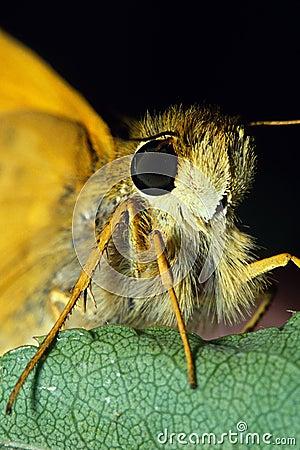 Skipper Butterfly Portrait